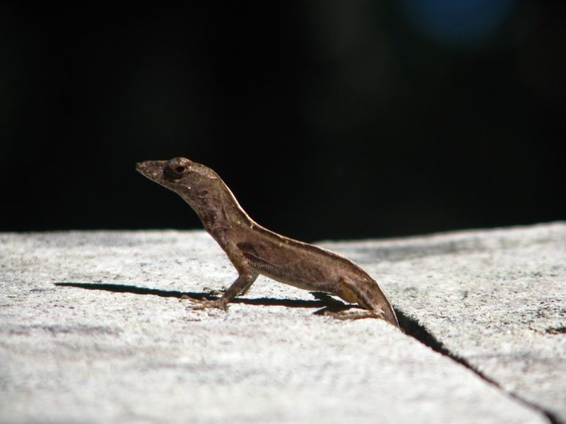 Small brown common lizard in Florida