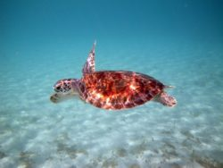 Turtle swimming in the Gulf of Mexico