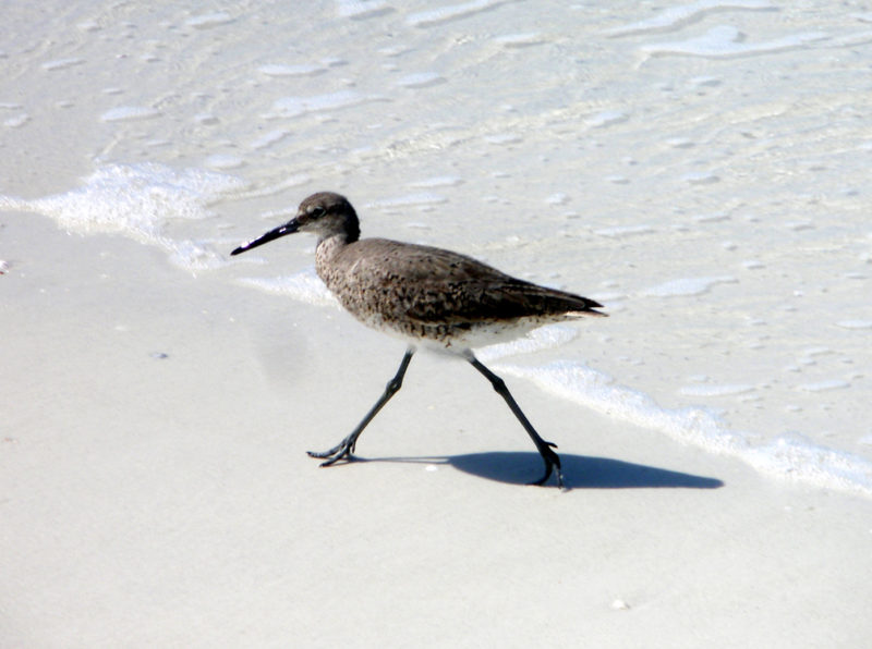 Bird watching on Anna Maria Island beach