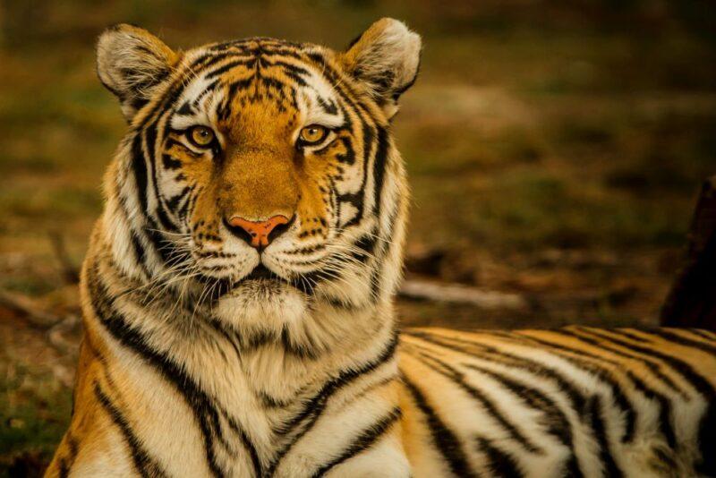 tiger at big cat habitat in sarasota